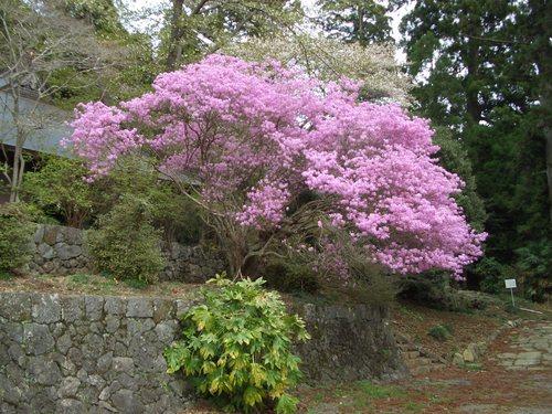 村山浅間神社のミツバツツジ